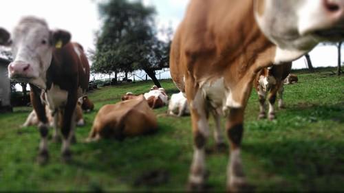 Kühe gruppe