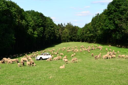 Ente Herde kommt