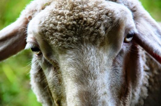 ..wenn man zwischen zwei Terminen auch noch Schafe knipsen muß.
