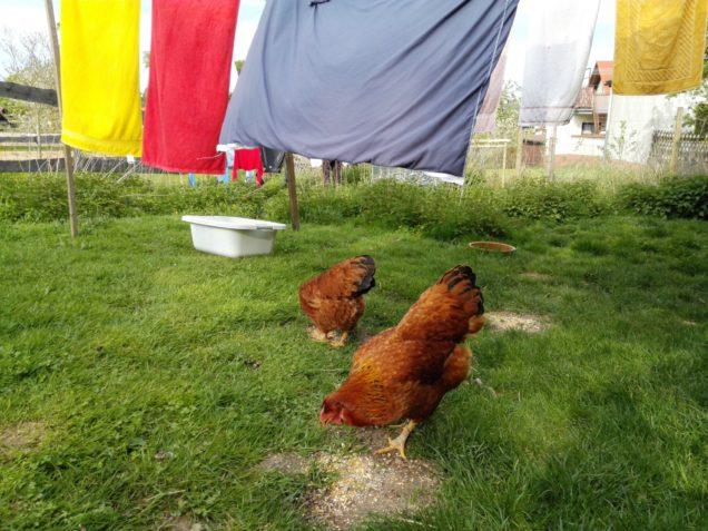 Leben geht weiter auf der Hühnerwiese.