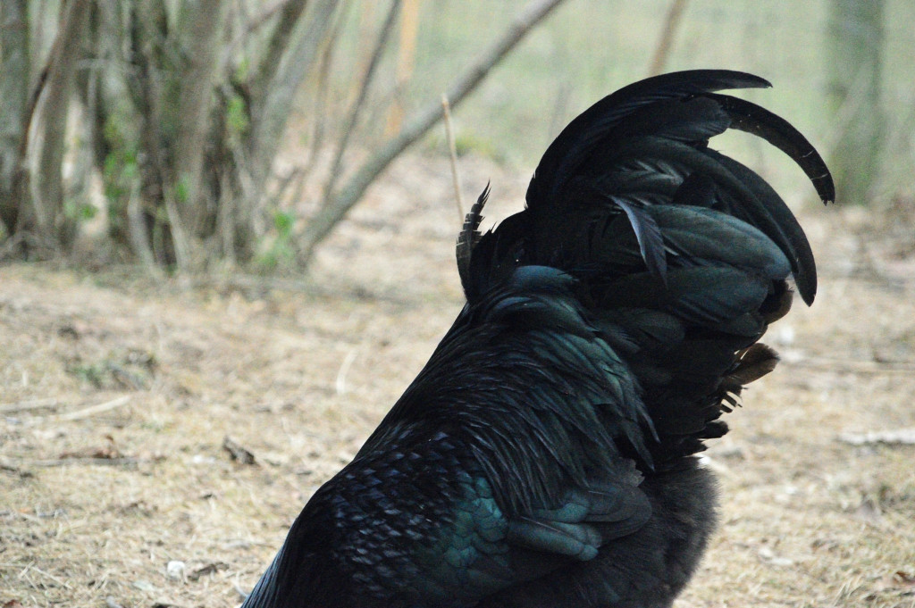 Großer Hahn zerstört