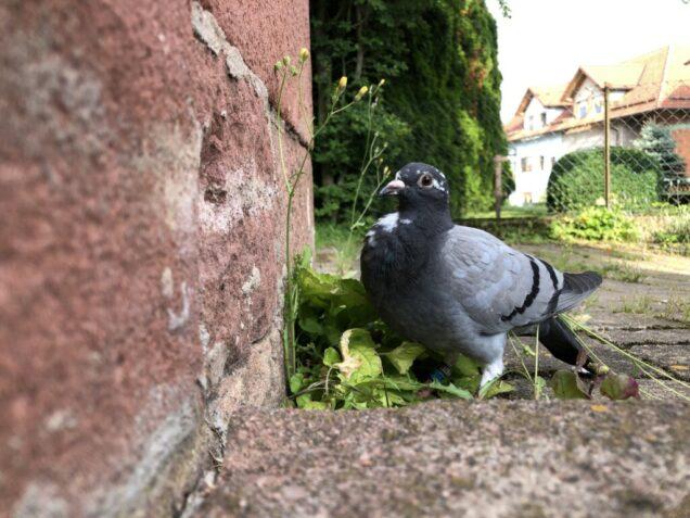 Tauben fangen.
